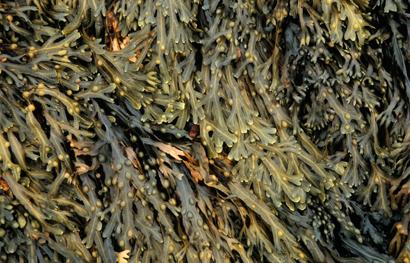 Seaweed_410_tcm18-207061
